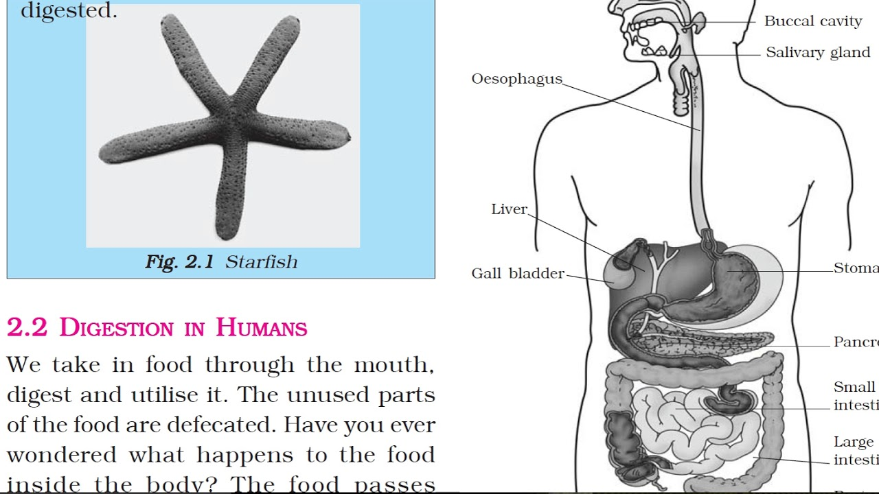 Class 7: Science (Chapter 2: Nutrition in Animals ...